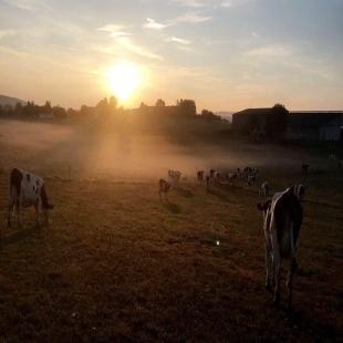 Voici plus d'un mois que nos animaux ont rejoind les pâturages L'occasion parfaite pour nos agriculteurs de profiter du lever du soleil.. Quand il ne pleut pas ..  #coopbouclans #livraisonàdomicile#boutiqueenligne #coopbouclans #cow #ventedirect#produitfrais #montbeliarde #simmental #paturage#comté #agriculture