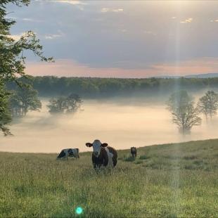 A la fraîcheur de l'aurore... Merci Laurent B pour la photo  #lait #montbeliarde #simmental #paturage#comté #agriculture #agricultureraisonnée #coopérative #coopbouclans#cow #coopbouclans #livraisonàdomicile #boutiqueenligne #drive#agriculture #coopbouclans #agriculture #agricultureraisonnée #coopérative#coopbouclans
