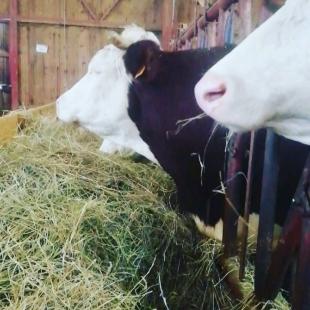 La base de l'alimentation de nos belles vaches est composé d'herbe pâturée l'été et de foin l' hiver. Le foin est récolté sur notre plateau au alentour du 20 mai-1er juin. Ces dames gourmandes, avaler ont entre 15 et 20 kg de ce délicieux repas 😊🐄🐄  #vache #coopbouclans #cow #ventedirect#produitfrais #coopbouclans #livraisonàdomicile #boutiqueenligne #drive#agriculture #coopbouclans #agriculture #agricultureraisonnée #coopérative #élevage #terroirfrançais #mangerlocal
