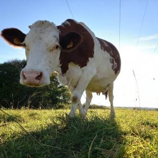Nous profitons des derniers rayons du soleil pour rentrer nos vaches. L'heure de la traite approche..🐄🐄🥛🥛  #circuitcourt #simmental #comté #franchecomte #montbeliarde #simmental #fromage #cooperative #morbier
